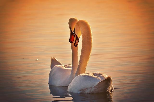 swans-1118903_640